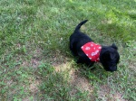 Puppy with bandana